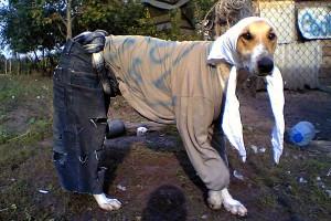 Одежда для собак делится на выходную, прогулочную и рабочую