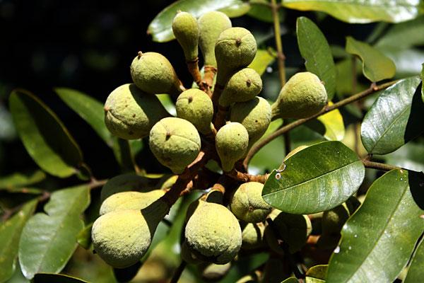 cashew Как растут настоящие орехи?