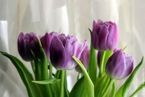 Голландские тюльпаны, реально приехавшие из Амстердама.