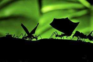 Муравьи-листорезы (Leaf-cutting Ants).