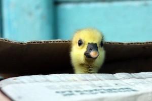 Весёлый гусёнок из коробки.