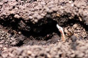 Муравьи на муравьиной дорожке.