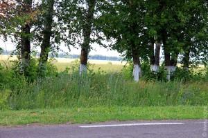 Белые стволы деревьев в Курской области.