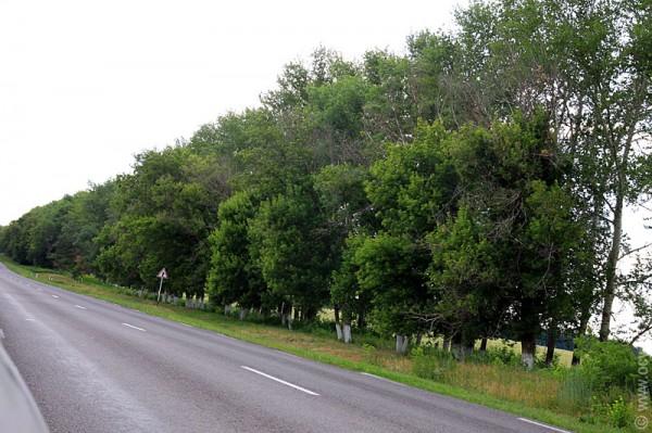 Посадка с белыми стволами близ Золтухино имеет большую протяженность.