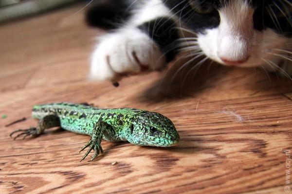 Кошка с интересом осматривает ящерку.