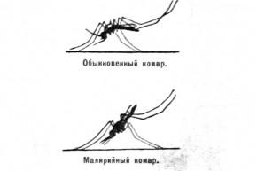 Посадка обычного и малярийного комаров. 1927 год.