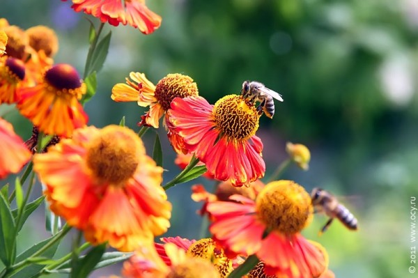 Пчёлы на осенних цветах.