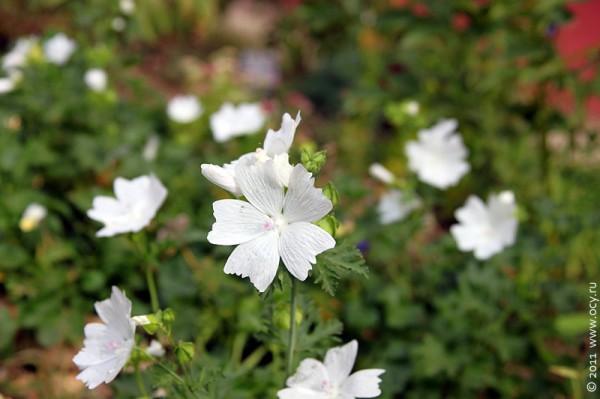 Белые цветочки.