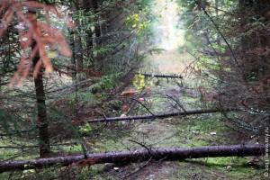 Лес грибной.