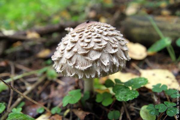 Мохнатый гриб.