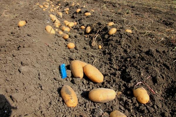 Картошка на грядке.