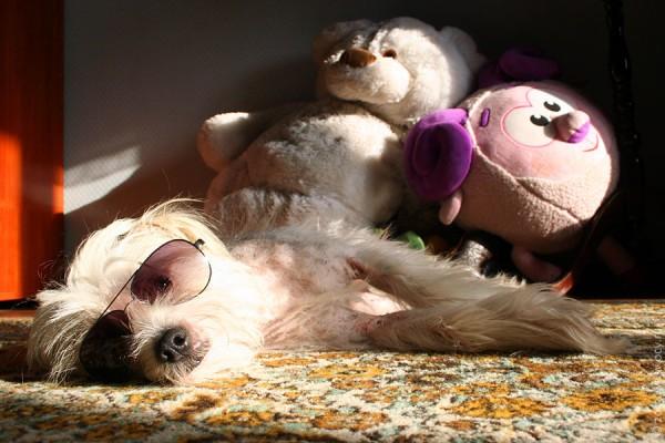 Собака Пифа в очках.