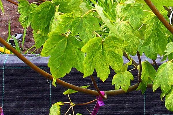Вот листья клена ложноплатанового.