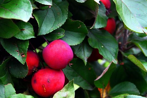 Яблоня на шпалере.