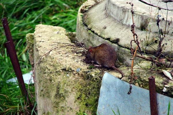 Крыса на ьерегу живописной речки.