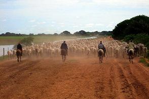 Венесуэла. Стадо, пастухи... Ковбои?