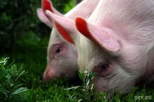 Пахнет свиным гриппом