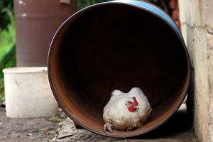 Цыплёнок Диоген.