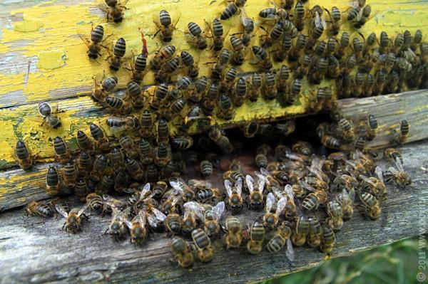Пчёлы.