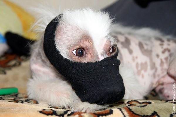 Собака Пифа в маске налётчика.
