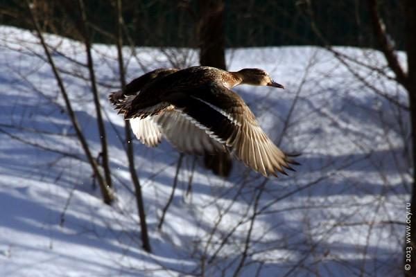 Взлетающая утка.
