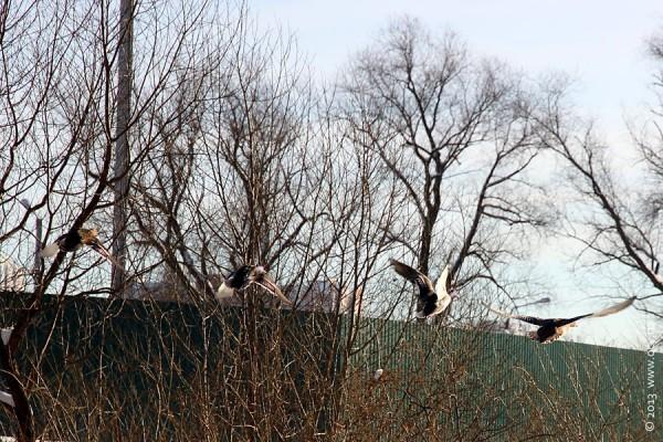 Взлетающие утки.
