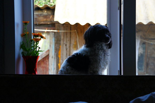 Собака Бьяна у окна.