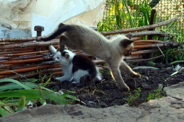 Котята Катя и Миша играют.